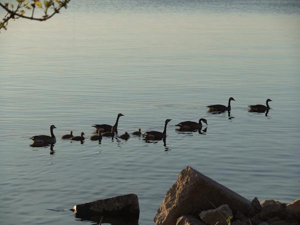 ホテル前のミシガン湖でうグースの家族が泳ぐ